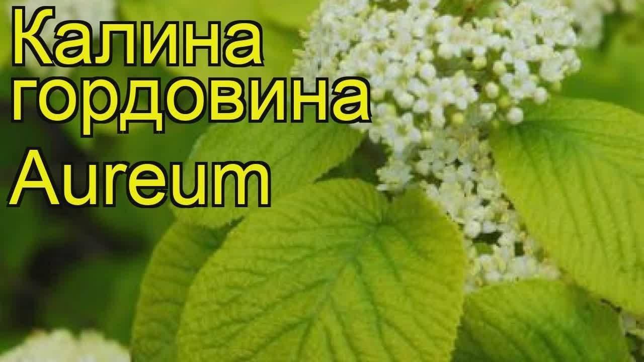 Калина: опыт выращивания разных сортов и фото на supersadovnik.ru