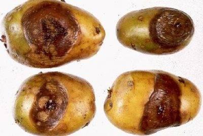 Почему чернеет картошка внутри при хранении или после чистки на воздухе