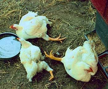Выявление и лечение пуллороза цыплят и кур