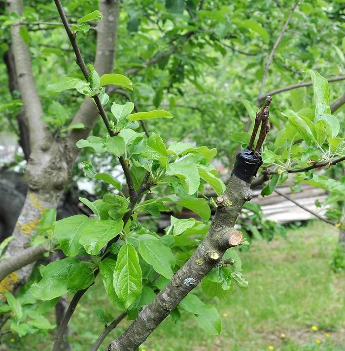 Прививка яблони весной для начинающих, пошаговая инструкция, а также обзор способов окулировки