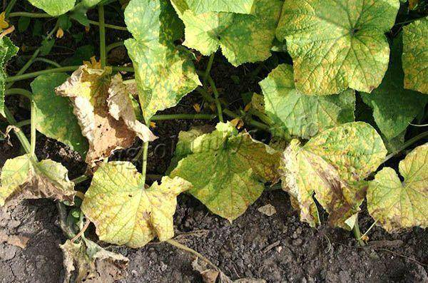 Почему желтеют листья у рассады огурцов и что делать