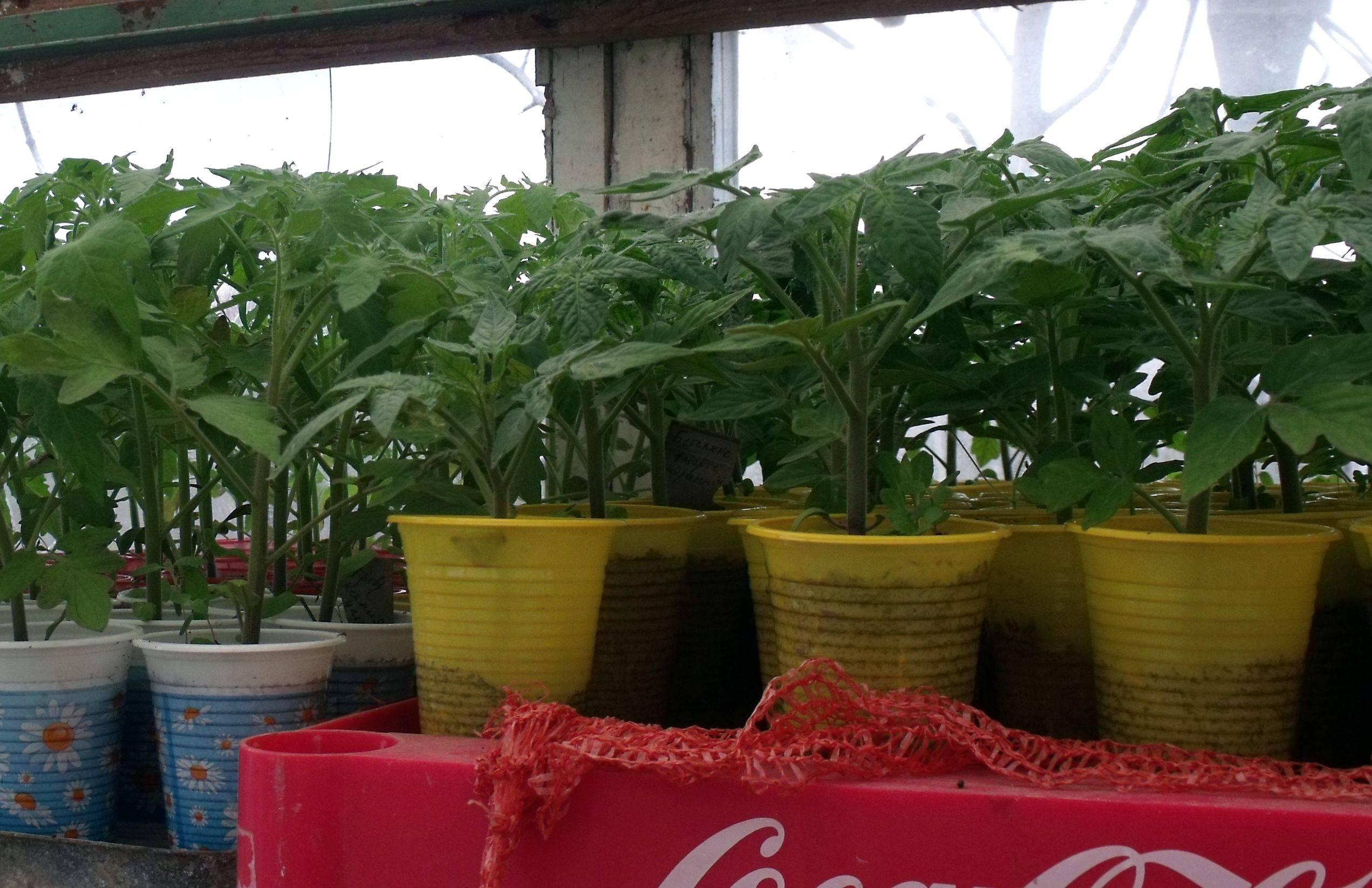5 видов подкормки для рассады томатов. делаем большой урожай при помощи народных средств
