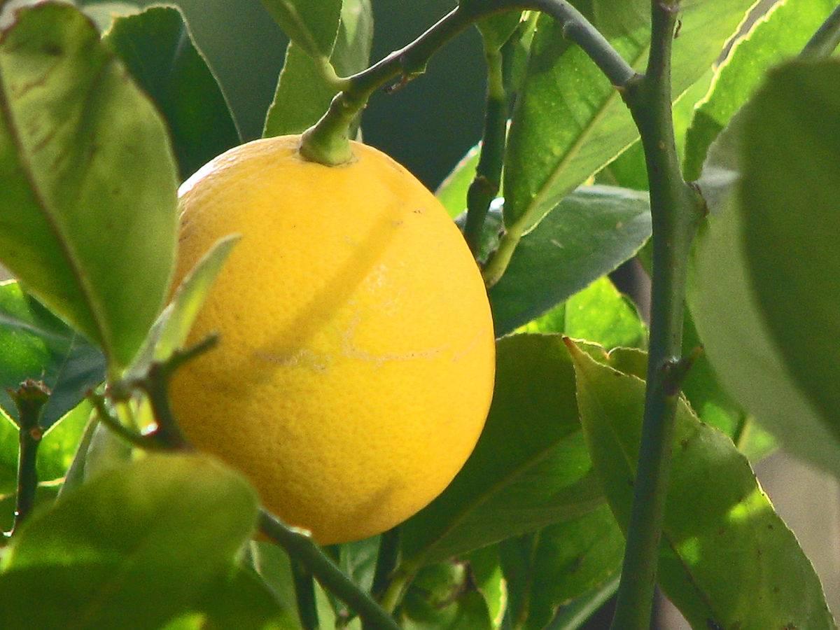 Лимон мейера: уход, выращивание, как сажать, полив