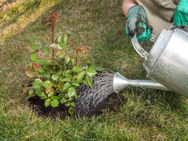 Подкормка роз осенью: чем удобрять, уход и подготовка к зиме
