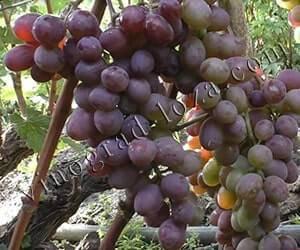 Самый морозостойкий виноград — сорт амурский потапенко