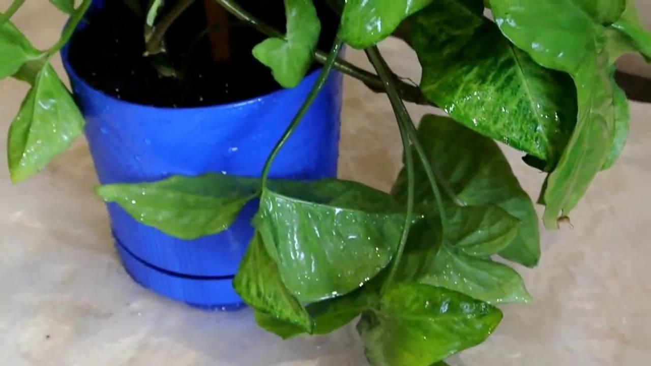 Комнатное растение сингониум: фото, описание цветка, уход в домашних условиях