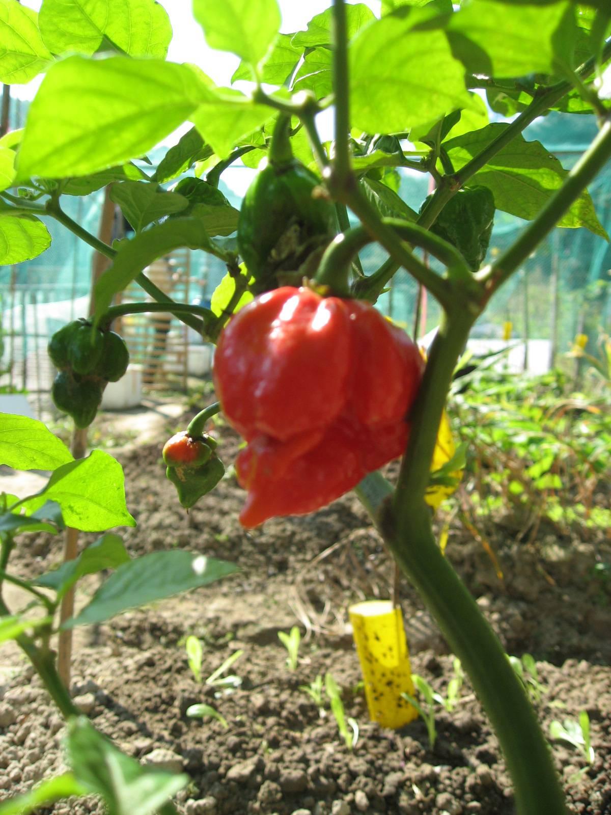 Характеристика сорта перцев Скорпион Тринидада