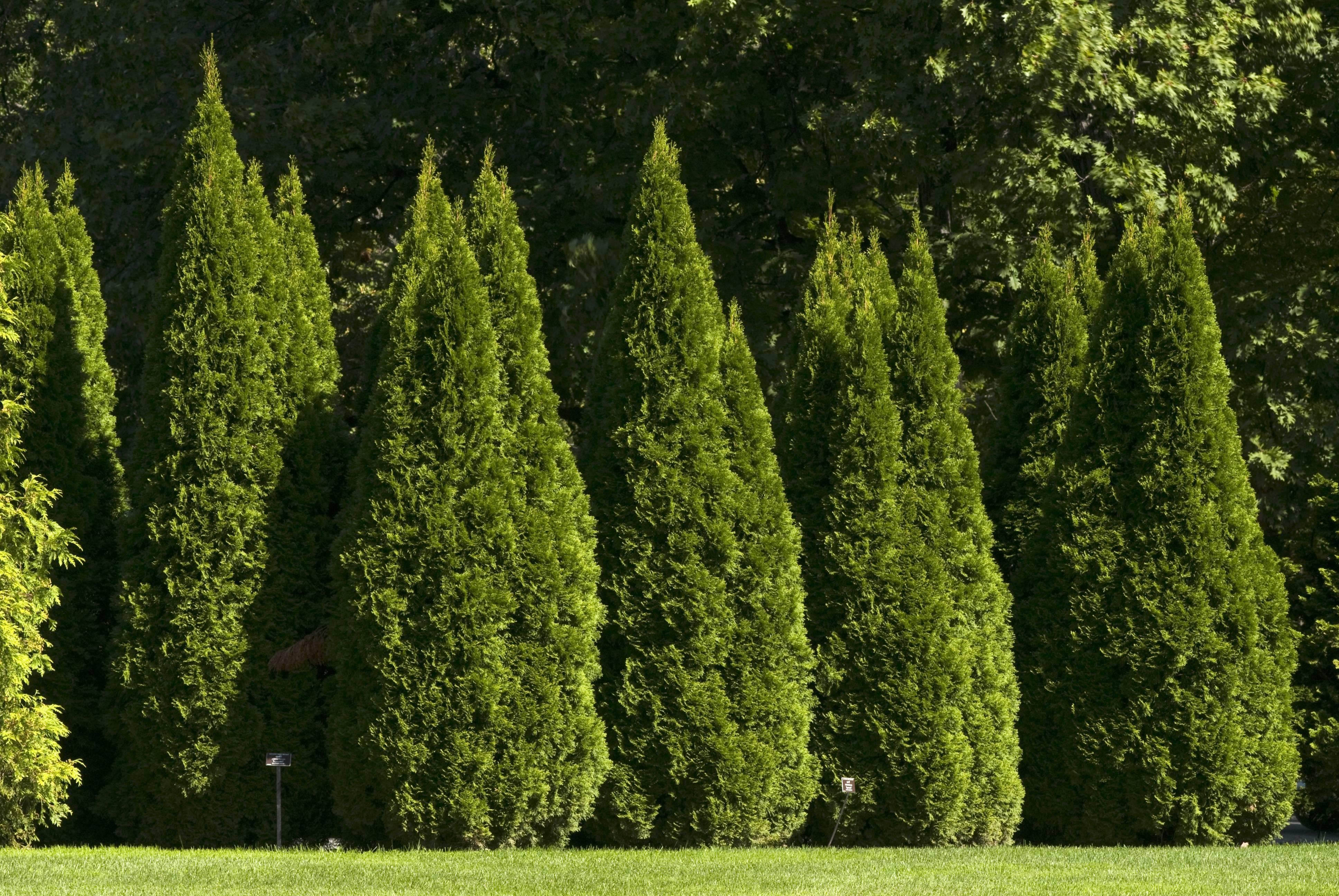 Характеристики особенности туй, правильная посадка в саду и уход за ними