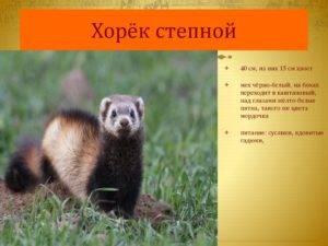 Амурский степной хорь: описание, характеристика, фото — selok.info