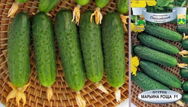 Описание сорта огурцов марьина роща - дневник садовода semena-zdes.ru
