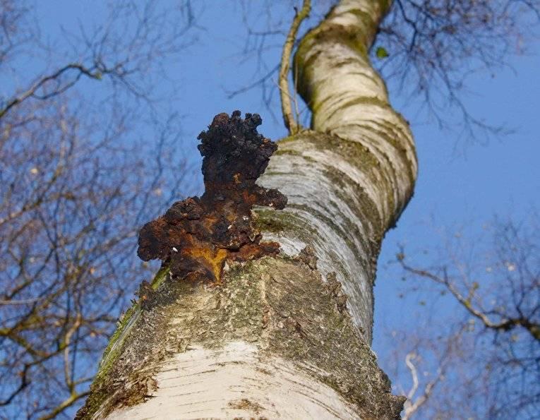 Как выглядит березовый гриб чага и его описание (+24 фото)?