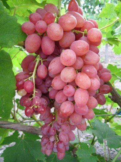Виноград кишмиш лучистый: описание сорта, фото и отзывы