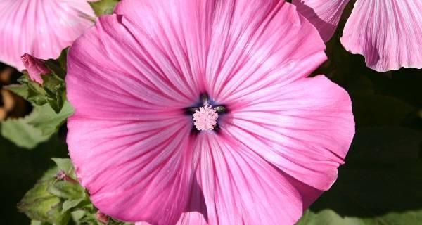 Лаватера: выращивание из семян. когда сажать цветок