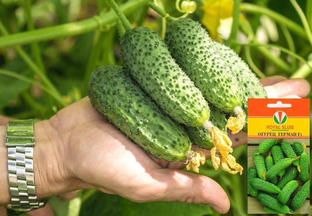 Герман огурцы f1: описание сорта, выращивание в открытом грунте, характеристика