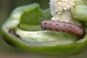Помогите - появились белые наросты-пупырышки на рассаде перца