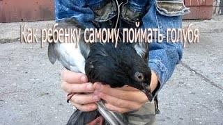 Как поймать голубя: руками, ловушкой, на улице или дома