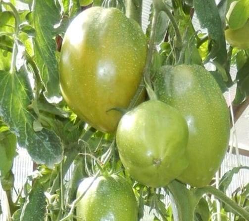 Томат сорта олеся: особенности культуры, описание агротехники, отзывы