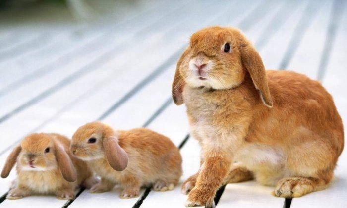 Когда можно отсаживать крольчат от крольчихи и чем их кормить?