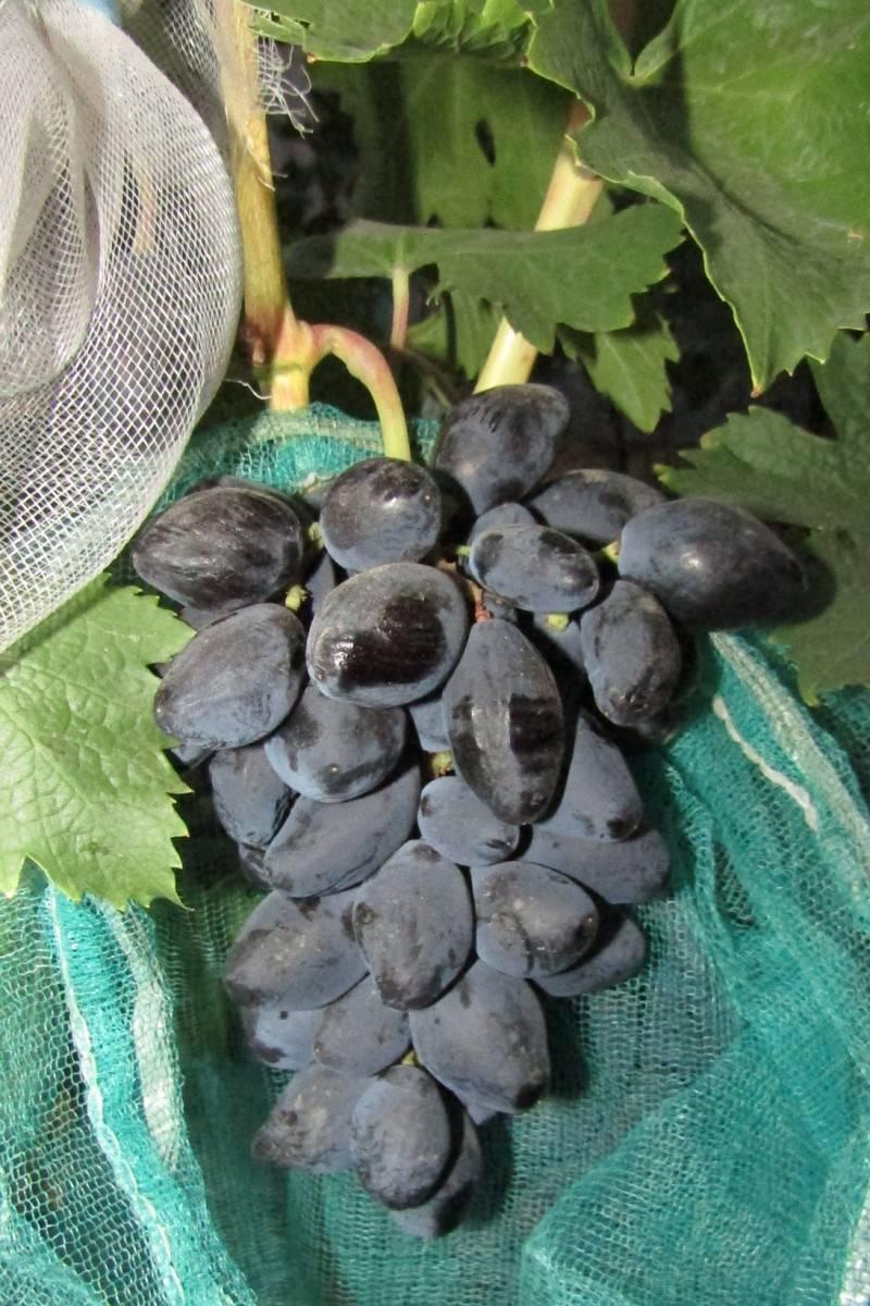Виноград ромбик: характеристика и описание сорта, посадка и уход