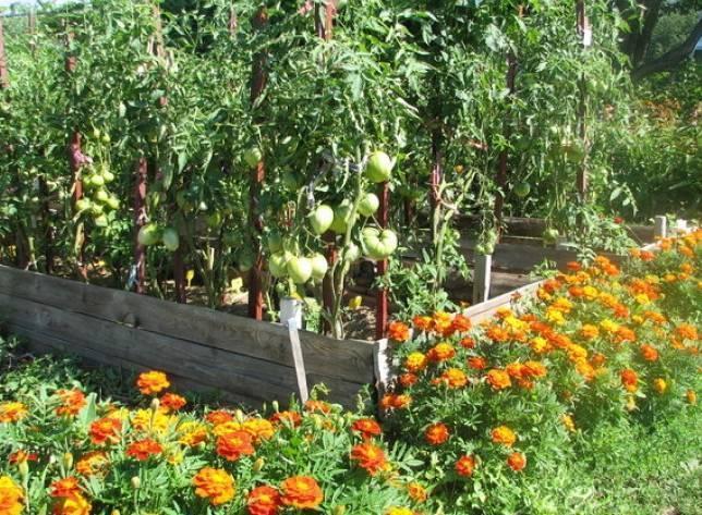 Что можно сажать рядом с томатами, помидорами в теплице: культуры которые нельзя сажать рядом с помидорами: советы садоводов
