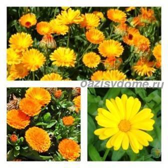 Календула: описание растения, посадка в открытый грунт семян или рассады, уход