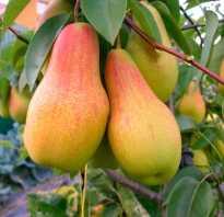 Урожайная груша сорта прибалтийская маслянистая