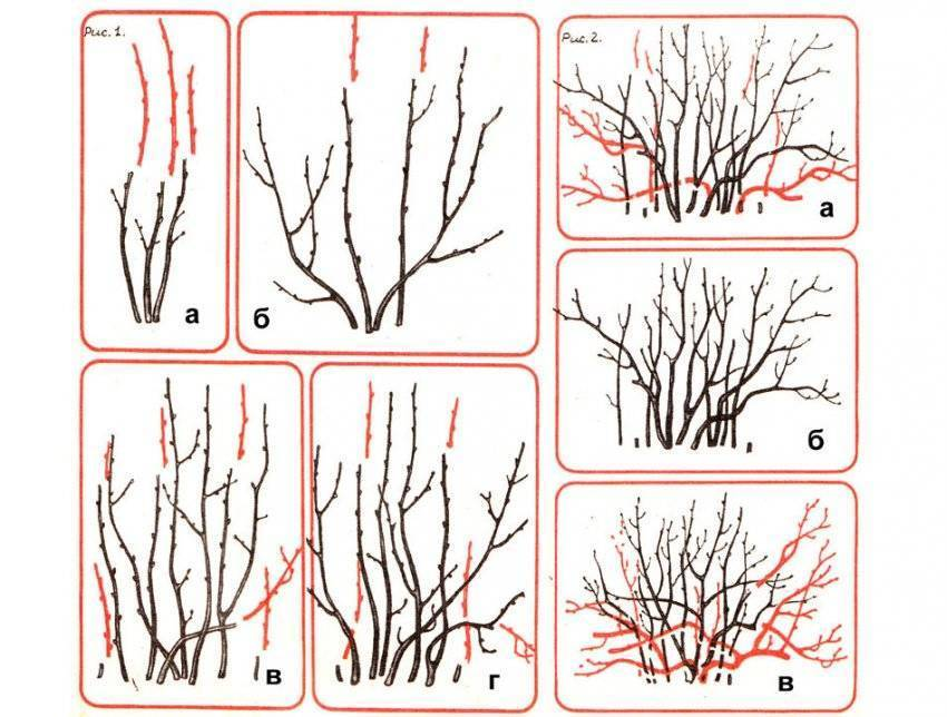 Как выполнять обрезку смородины осенью и весной? пошаговая инструкция с фотографиями