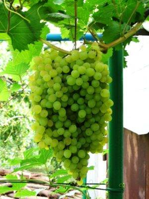 Стойкий к болезням виноград с большим генетическим потенциалом — сорт русбол
