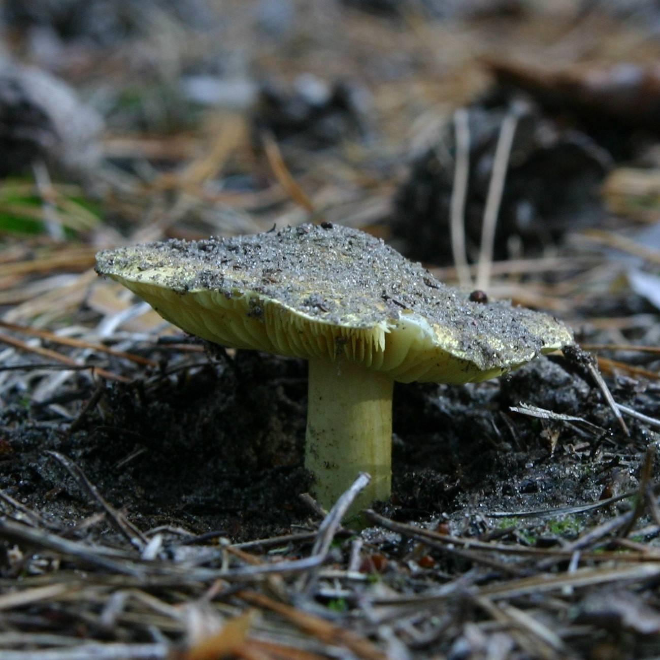 Описание гриба зеленушка