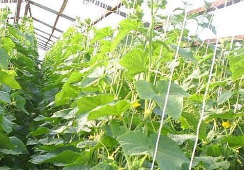 Сроки посадки семян на рассаду: на урале, кубани, в подмосковье и в сибири, а также в ленинградской области, особенности выращивания огурцов в этих регионах русский фермер