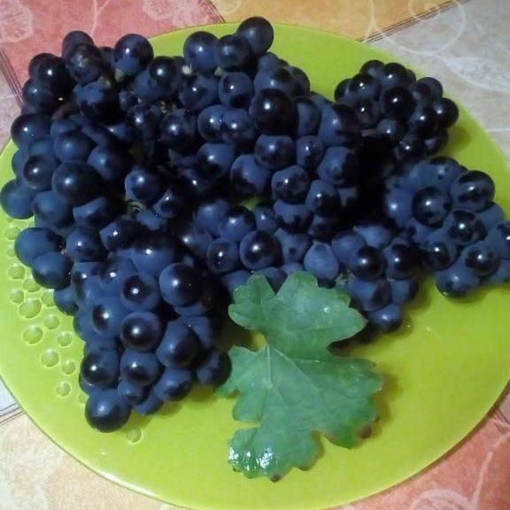 Черный виноград «кишмиш потапенко»: характеристика и выращивание