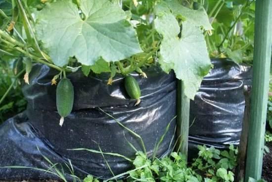 Огурцы в бочке: выращивание, плюсы и минусы метода