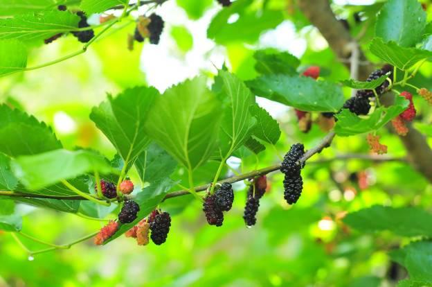 Шелковица - выращивание и уход в средней полосе