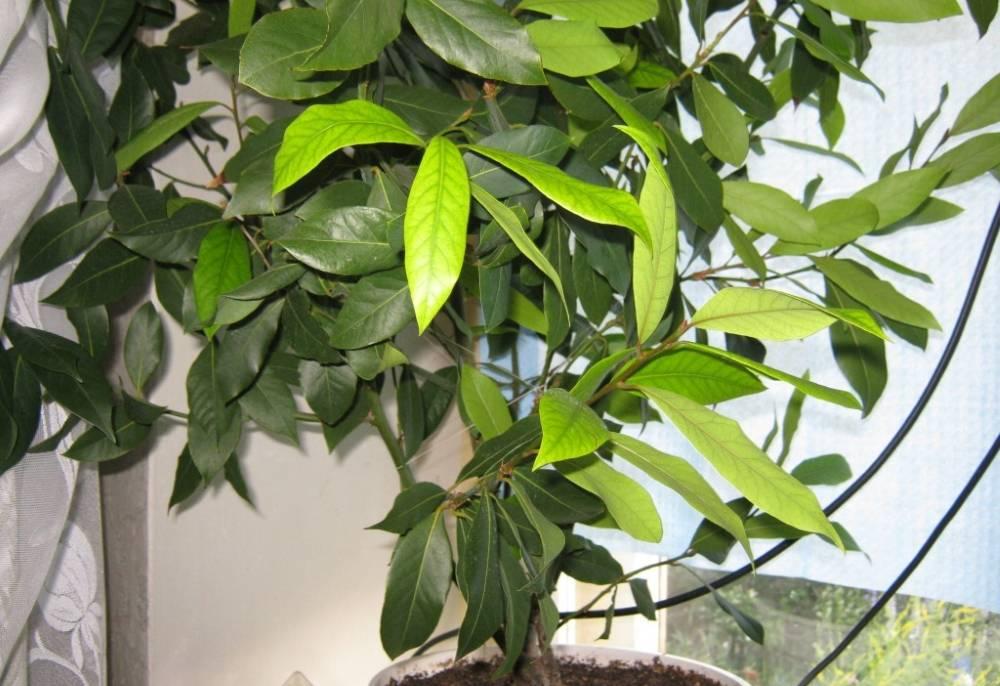 Лавровое дерево в домашних условиях: посадка, особенности выращивания, уход - sadovnikam.ru