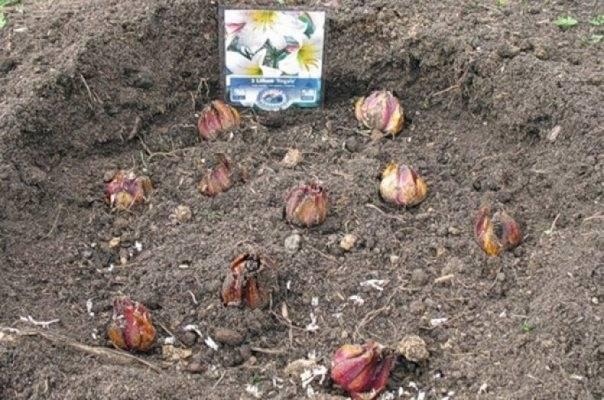 Пересадка лилий осенью на другое место в сибири на урале в подмосковье сроки фото видео