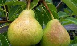 Осенние сорта груши: лучшие представители для разных регионов