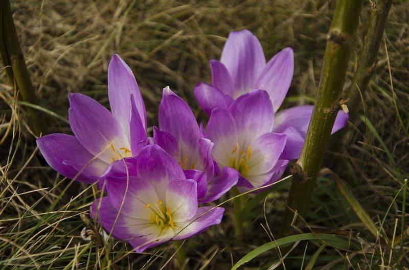 Безвременник или колкихум: виды и сорта с фото, выращивание от посадки своими руками до ухода