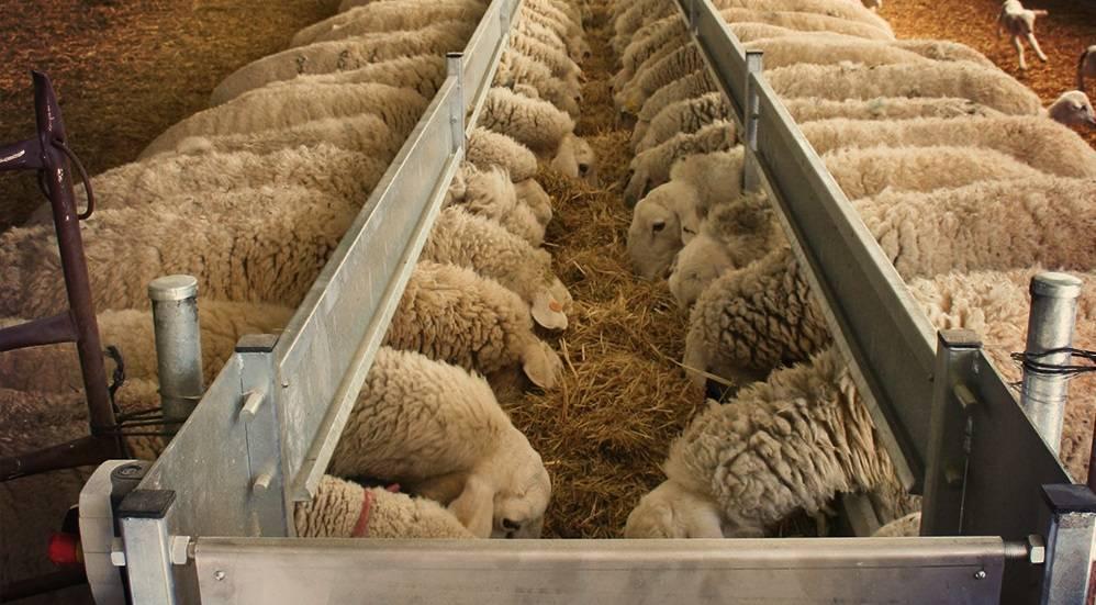Основные правила кормления овец
