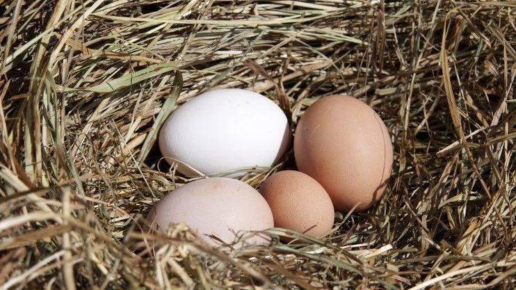Проблемы яйцекладки – 7 причин и способы устранения