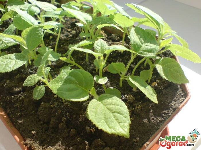Как растет фрукт киви, его выращивание в домашних условиях