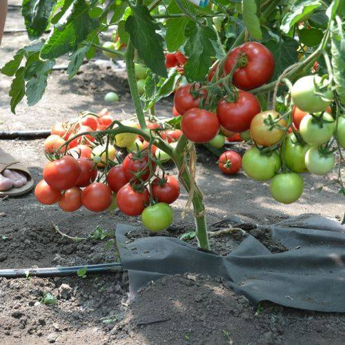 Детерминантный сорт томатов: что это такое и чем эти помидоры отличаются от индетерминантных и штамбовых