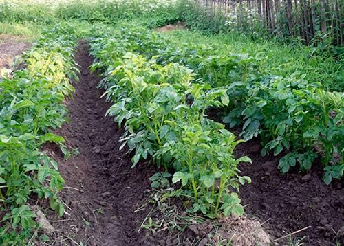 Как и когда окучивать помидоры после высадки в грунт