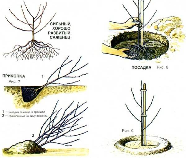 Особенности выращивания черешни в подмосковье