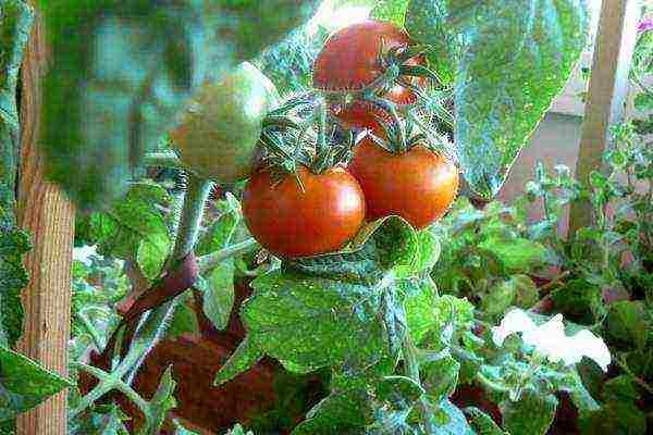 Выращивание помидоров черри на балконе пошагово