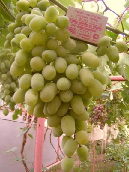 Виноград алекса: описание сорта, фото, отзывы - растения и огород