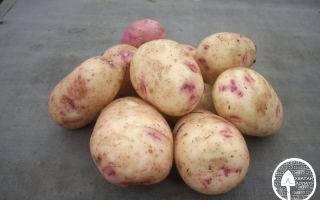 Аврора – урожайный картофель. описание клубней, правила высадки и ухода, плюсы и отрицательные стороны