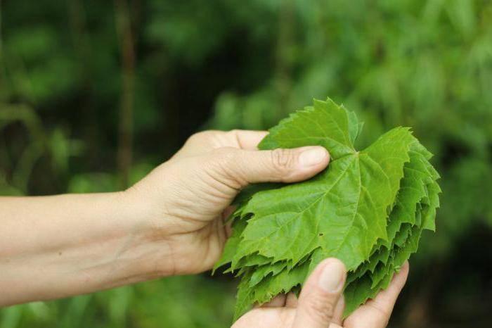 Полезные свойства виноградного листа. — полезный.про