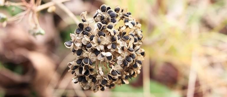 Посадка лука чернушки весной посев когда сеять как сажать правильно