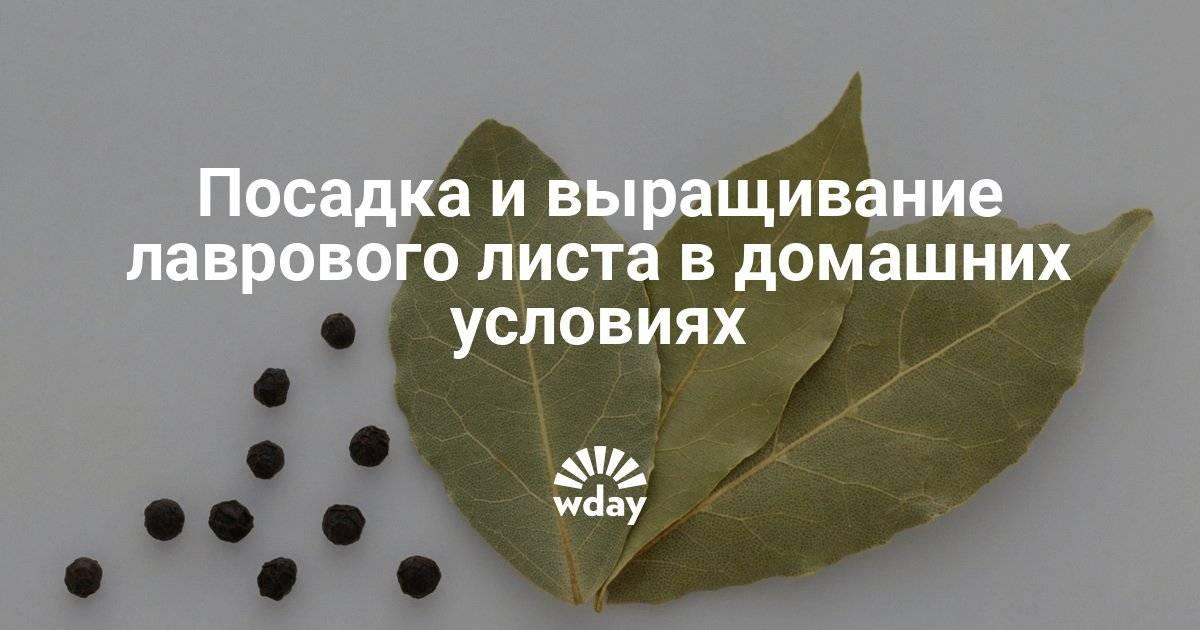 Лавр благородный — выращиваем лавровый лист. уход, посадка, размножение. фото — ботаничка.ru