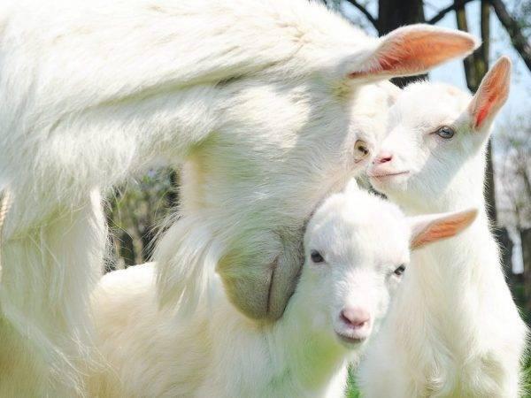 Когда можно пить молоко после окота козы и при запуске беременного животного, сколько дает после первых родов, может ли быть, что его мало, почему нет, что делать?